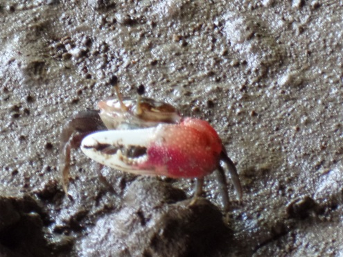 A fiddler crab we saw near the bat cave...which is just what it sounds like